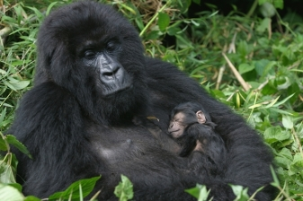 4 Day Gorilla Trek Safari