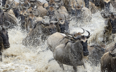 The Masai Mara Wildebeest Migration in its full splendor!